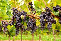 Uvas vermelhas Fotos de Stock Royalty Free