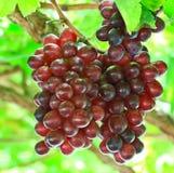 Uvas vermelhas Fotografia de Stock