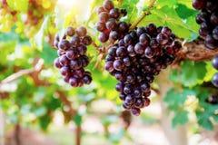 Uvas vermelhas com luz solar imagens de stock