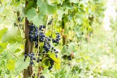 Uvas vermelhas da videira em Suíça no verão Fotografia de Stock