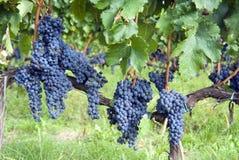 Uvas vermelhas de Chianti Imagens de Stock Royalty Free