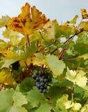 Uvas vermelhas em um vinhedo Fotos de Stock