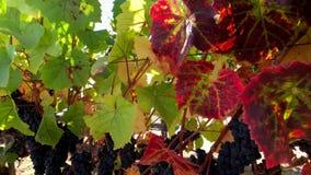 Uvas vermelhas maduras no wineyard vídeos de arquivo