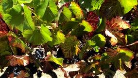 Uvas vermelhas maduras no wineyard filme