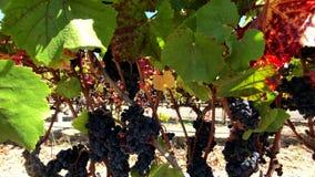 Uvas vermelhas maduras no wineyard video estoque