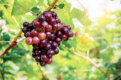 Uvas vermelhas na árvore fotos de stock royalty free