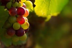 Uvas vermelhas na luz do por do sol Imagens de Stock Royalty Free