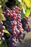 Uvas vermelhas na videira Imagem de Stock Royalty Free