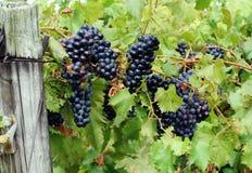 Uvas vermelhas na videira Fotografia de Stock Royalty Free