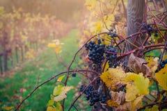 Uvas vermelhas no vinhedo Imagens de Stock Royalty Free
