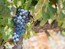 Uvas vermelhas no vinhedo em Franschhoek, África do Sul Imagens de Stock