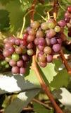 Uvas vermelhas orgânicas na filial Foto de Stock