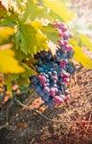 Uvas vermelhas roxas Imagens de Stock