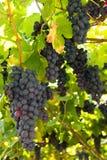 Uvas vermelhas roxas com folhas verdes imagem de stock
