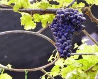 Uvas vermelhas roxas com folhas verdes Imagens de Stock Royalty Free