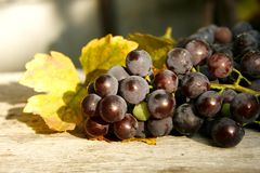 Uvas violetas na luz do por do sol Imagens de Stock Royalty Free