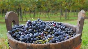 Uvas y cesta negras con los viñedos en fondo