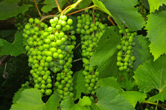 Uvas y follaje verde Imagen de archivo
