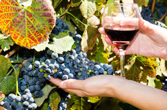Uvas y vidrio maduros de vino en las manos de la gente Foto de archivo