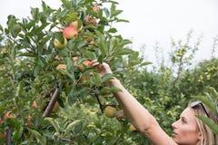 Uw appelen royalty-vrije stock afbeeldingen