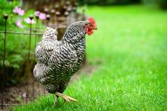 Uwalnia pasma Dominique kurczaka na gospodarstwie rolnym Obrazy Royalty Free
