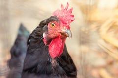 Uwalnia pasmo kurczaka na gospodarstwie rolnym Obraz Royalty Free