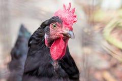 Uwalnia pasmo kurczaka na gospodarstwie rolnym Obrazy Stock