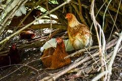 Uwalnia pasmo kurczaki, jaspis, dziąsła, usa fotografia stock