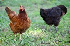 Uwalnia pasmo kurczaki zbiera, na trawie fotografia royalty free