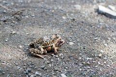 uwielbiają robić dwie żaby Fotografia Royalty Free