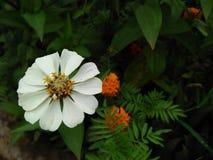 Uwypuklać ładnych i pięknych białych kwiaty obraz royalty free
