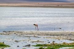Uyuni, Bolivia. Flamingo Uyuni, Bolivia, South America Stock Photo