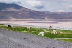 Uyuni, Bolivia. Laguna Colorada, Salar de Uyuni, Bolivia Royalty Free Stock Photos