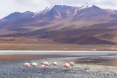 Uyuni flamingi Fotografia Stock
