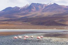 Uyuni Flamingos Stock Photography