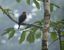 Uzębiona kania w Panama Zdjęcie Royalty Free