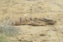 Uzbekian varan w piaskowatej pustyni, Guzar Disrtict, Uzbekistan Kwiecień 9 2014 Fotografia Royalty Free