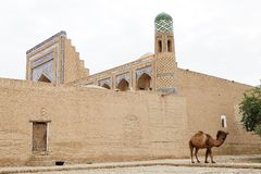 Uzbekistan. Dromedary camel at the Itchan Kala, Khiva, Uzbekistan. Itchan Kala is the walled inner town of the city of Khiva. Since 1990 it has been protected as Royalty Free Stock Image