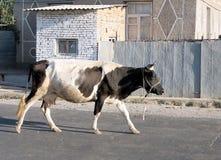 Uzbekistan Mayskiy Cow in street 2007 Stock Photo