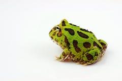 uzbrajać w rogi żaby zieleń zdjęcia royalty free