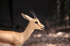 Uzbrajać w rogi gazeli Gazella także nazwani leptoceros Obraz Royalty Free