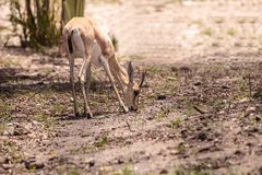 Uzbrajać w rogi gazeli Gazella także nazwani leptoceros Zdjęcia Royalty Free