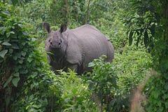 Uzbrajać w rogi nosorożec A Obrazy Royalty Free