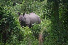 Uzbrajać w rogi nosorożec b Zdjęcie Stock