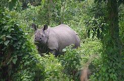 Uzbrajać w rogi nosorożec C Zdjęcia Royalty Free
