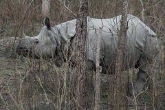 Uzbrajać w rogi nosorożec d Obrazy Stock