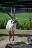 Uzbrajać w rogi oryx pozycja zdjęcie stock