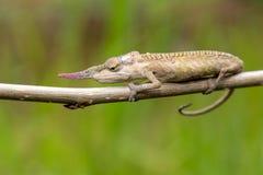 Uzbrajać w rogi kameleon, Madagascar Obraz Royalty Free