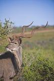 uzbrajać w rogi kudu Fotografia Royalty Free