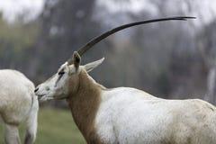 Uzbrajać w rogi oryx Oryx dammah lub Obrazy Stock